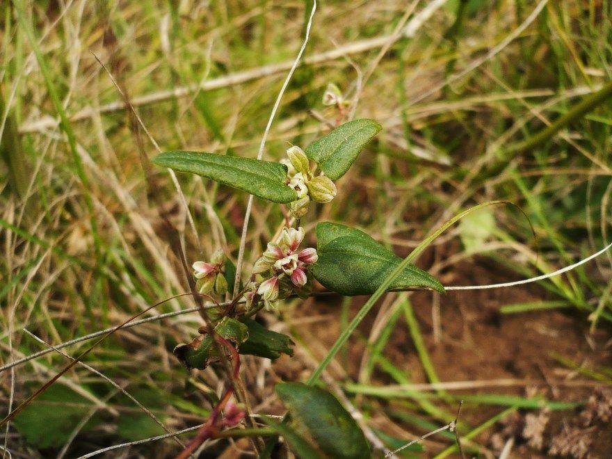 Повилика растение фото семена корни сорняк полевая паразит европейская помидоры листья трава присоски купить хмель бороться заразиха описание цветы семена