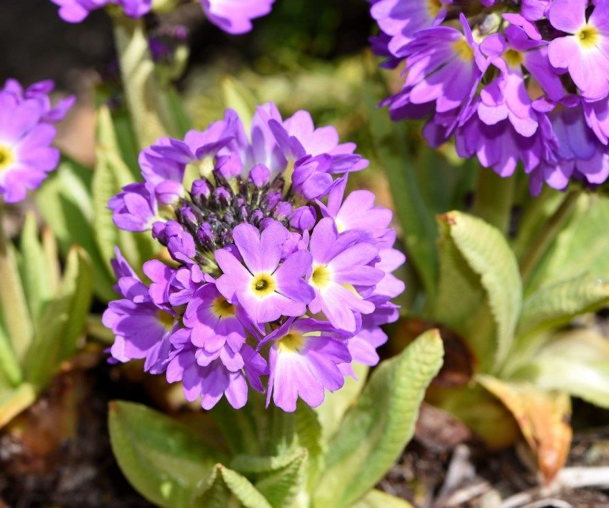 примула вечерняя фото картинки многолетняя посадка в домашних условиях садовая цветущее растение
