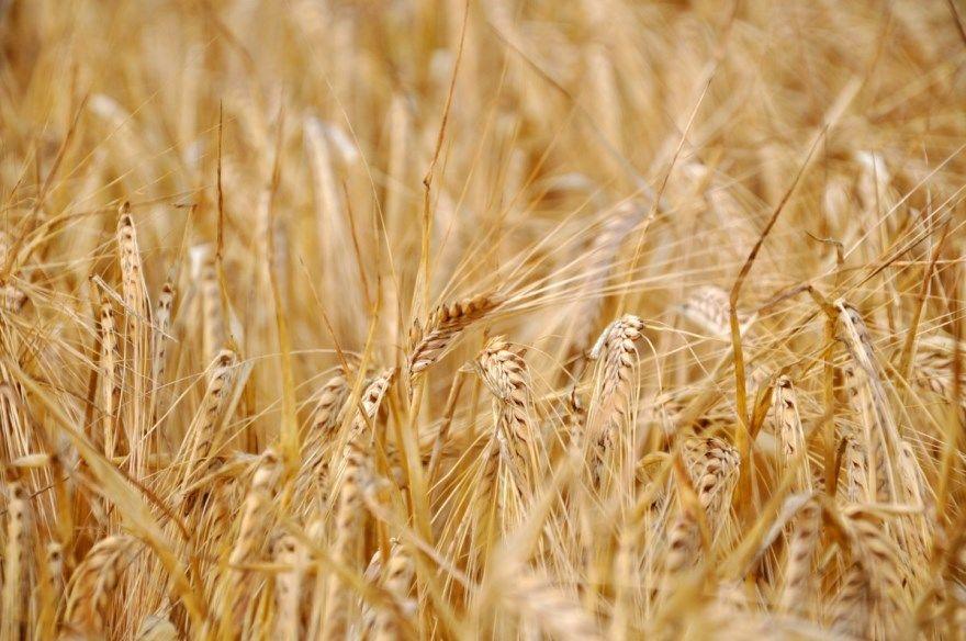 Смотреть фото колосьев озимой, пророщеной, яровой пшеницы, использующейся для самогона, изготавливаемого в домашних условиях бесплатно.
