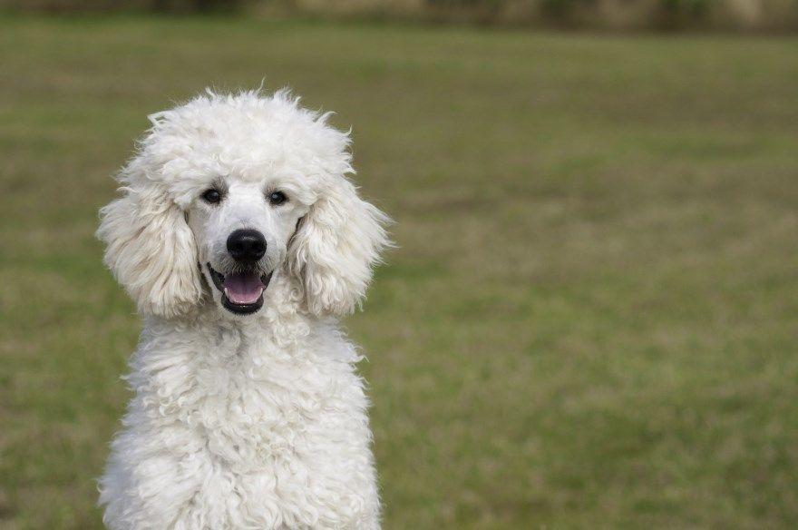 Пудель щенки купить фото порода собака цена спб москва авито видео