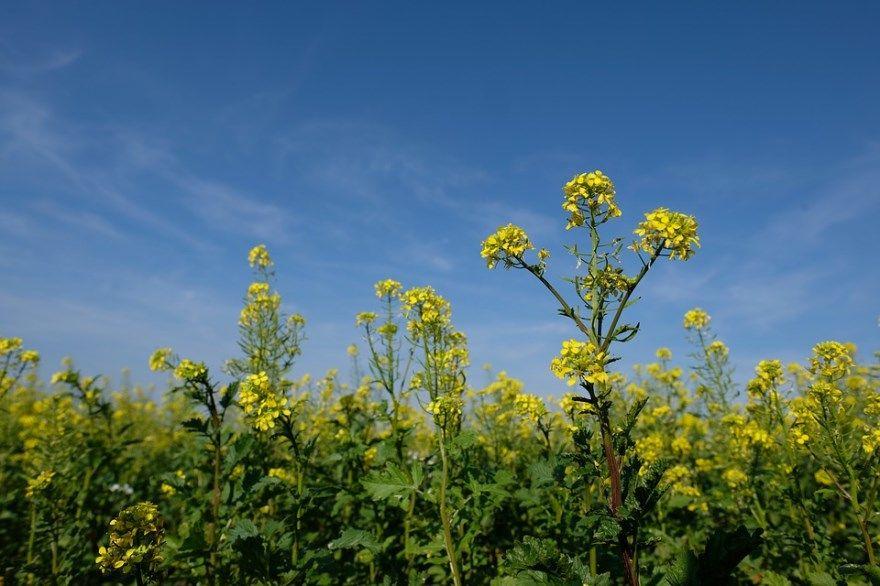 Смотреть фото растения озимого, ярового рапса для производства масла из Москвы, Россия. Купить фото гибрида рапса? Скачайте бесплатно.