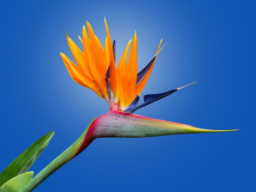 Райская птица цветок растение фото картинки самара официальный сайт бесплатно онлайн смотреть