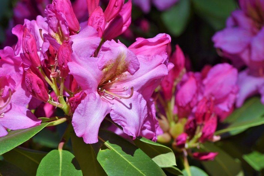 Рододендрон фото на зиму уход посадка купить подмосковье укрытие открытый грунт сорта какие цветок листопадный листья кавказский подготовка даурский укрывать