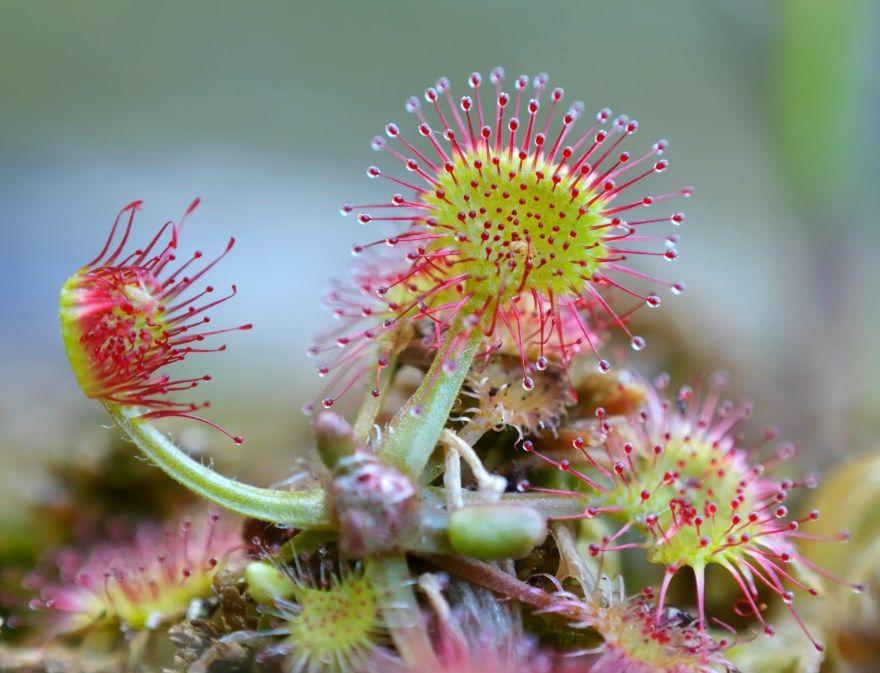 Росянка круглолистная растение фото листья купить хищная видео среда цветок домашняя описание доклад красная семена виды английская мухоловка приспособленности картинки