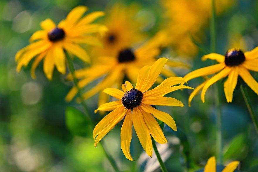 Рудбекия фото посадка уход многолетняя посадка цветок семена сорта купить золотая рассеченная шар открытый грунт черри