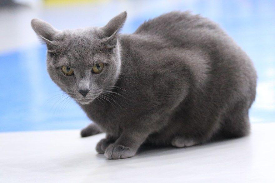 Русская голубая порода кошек котов фото картинки купить питомник скачать смешные бесплатно описание название