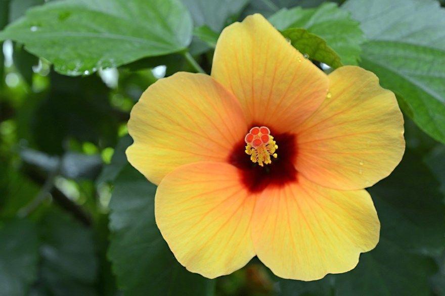 гибискус садовый фото картинки цветущее лечебное травянистое купить магазин домашний бесплатно смотреть