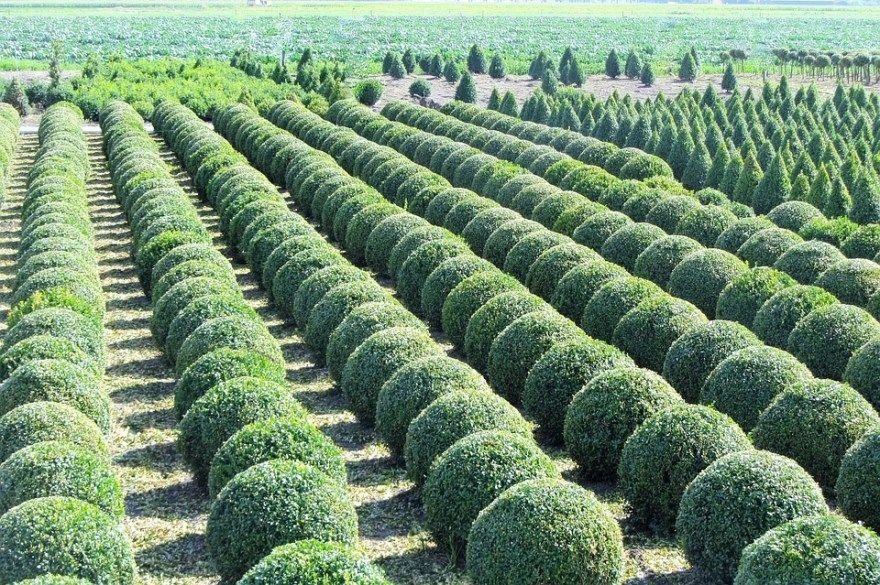 Самшит уход посадка фото купить вечнозеленый маркет на зиму осенью дерево искусственный размножение колхидский домашний условия растение интернет лес магазин рукоделие кустарник саженцы