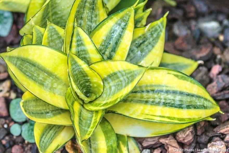 Сансевиерия фото купить уход домашняя условия ханни виды цветок лист цилиндрика названия москве трехполосная размножения