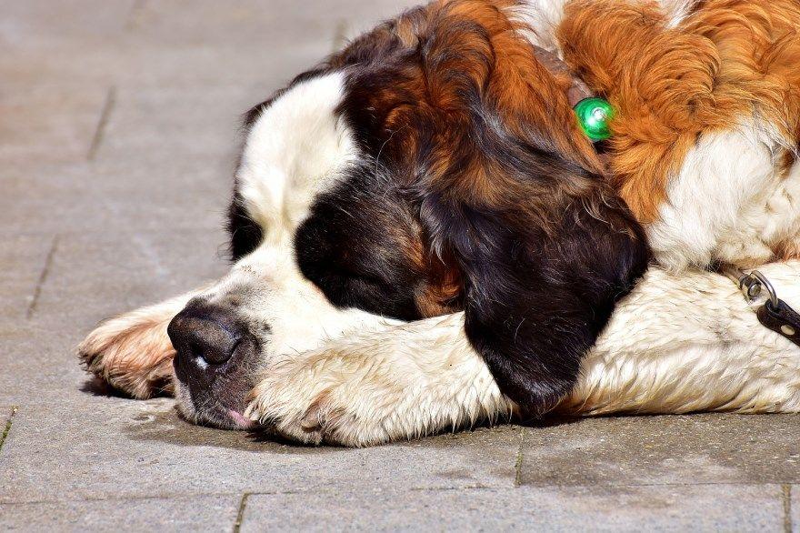 сенбернар щенки купить фото порода собака цена спб москва авито видео