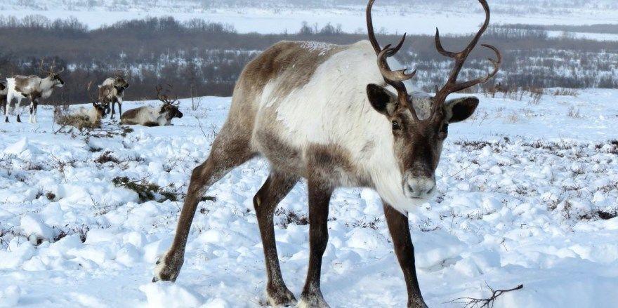 северный олень фото картинки скачать бесплатно онлайн в хорошем качестве животное дикий большой