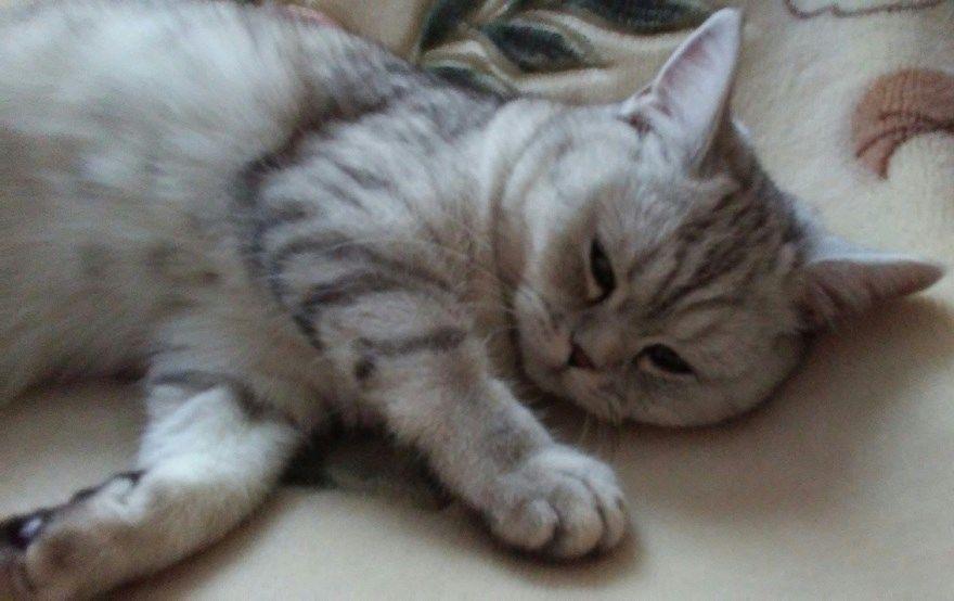 Шотландская порода фото картинки кошка кот приемник приют окрас девочки мальчики