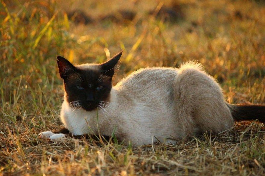 Сиамская порода фото картинки кошка кот глаза окрас купить характер описание название