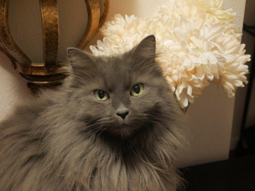Сибирская порода кошки коты черной белой серой с описанием названием купить питомник бесплатно скачать