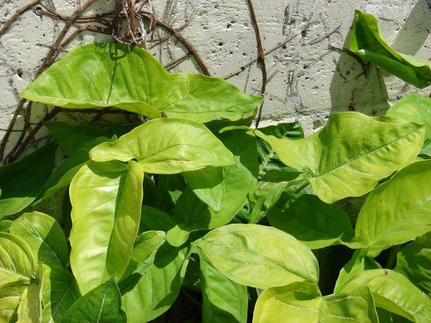 Сингониум фото уход домашние условия цветок виды лист дома можно купить можно ли растение держать комнатный ножколистный приметы сорта названия