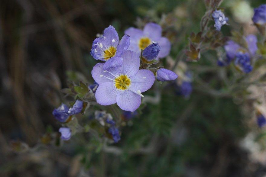 Синюха голубая свойства полезные лечебные противопоказания купить гора трава первая корень погода применение трава подгорная сироп аптека