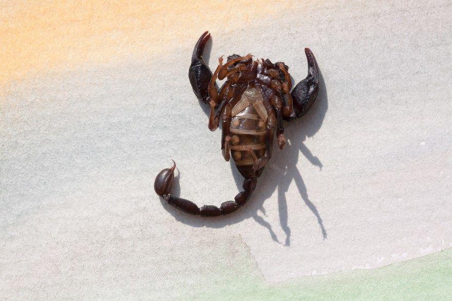 Скорпион животное фото картинки скачать бесплатно онлайн лучшие красивые в хорошем качестве