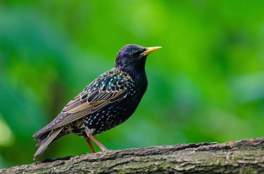 скворец птица животное фото картинки скачать бесплатно онлайн лучшие красивые в хорошем качестве