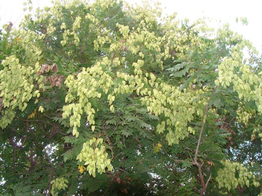 Софора японская настойка свойства лечебные полезные японская москва купить противопоказания применение отзывы плоды омела