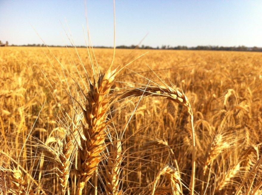 Фото колосьев озимой, пророщеной, яровой пшеницы разных сортов, использующейся для самогона, изготавливаемого в домашних условиях бесплатно.