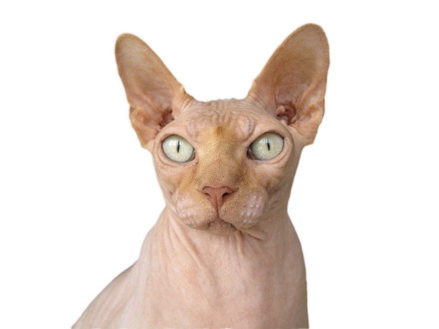 Сфинкс порода кошек котов фото картинки египетской девочки мальчик канадской лысой красивая