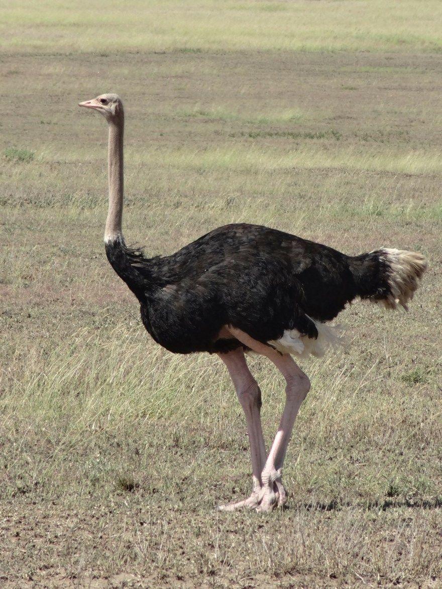 страус фото картинки скачать бесплатно онлайн в хорошем качестве