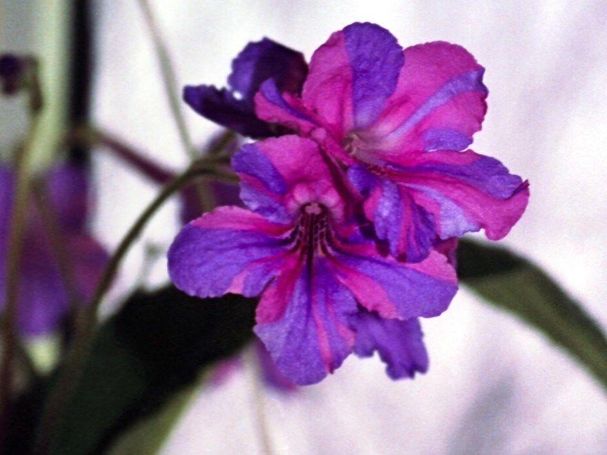 стрептокарпус фото картинки купить в домашних условиях уход за цветами бесплатно смотреть скачать