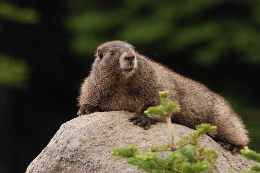 сурок фото картинки скачать бесплатно онлайн в хорошем качестве животное