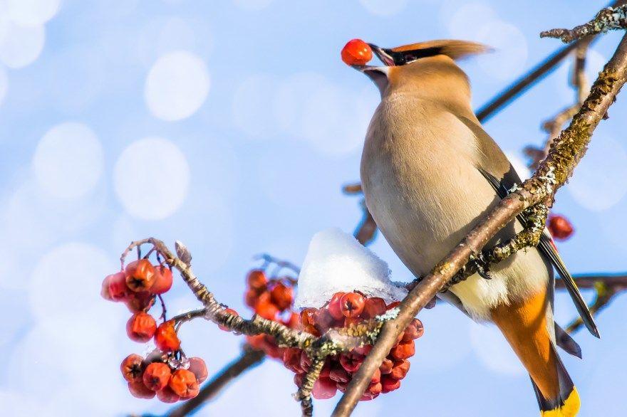 Свиристель фото картинки птица животное красивые лучшие как выглядят бесплатно онлайн смотреть