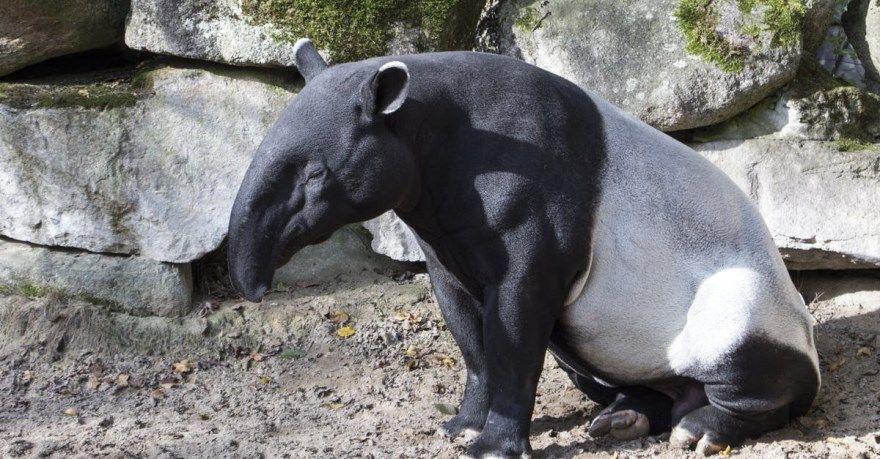 тапир фото картинки скачать бесплатно онлайн в хорошем качестве животное