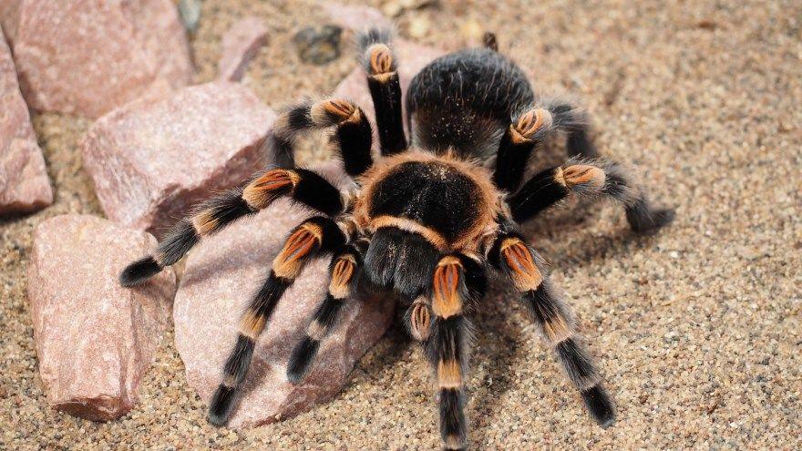 Тарантул паук фото картинки южнорусский большой купить смотреть онлайн скачать бесплатно