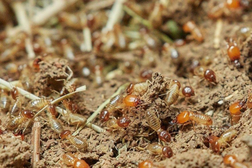 Термит насекомое фото картинки купить скачать бесплатно смотреть онлайн красноярск