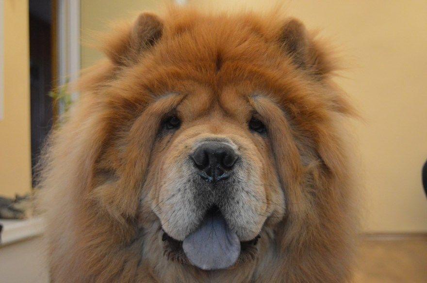 тибетский мастиф щенки купить фото порода собака цена спб москва авито видео