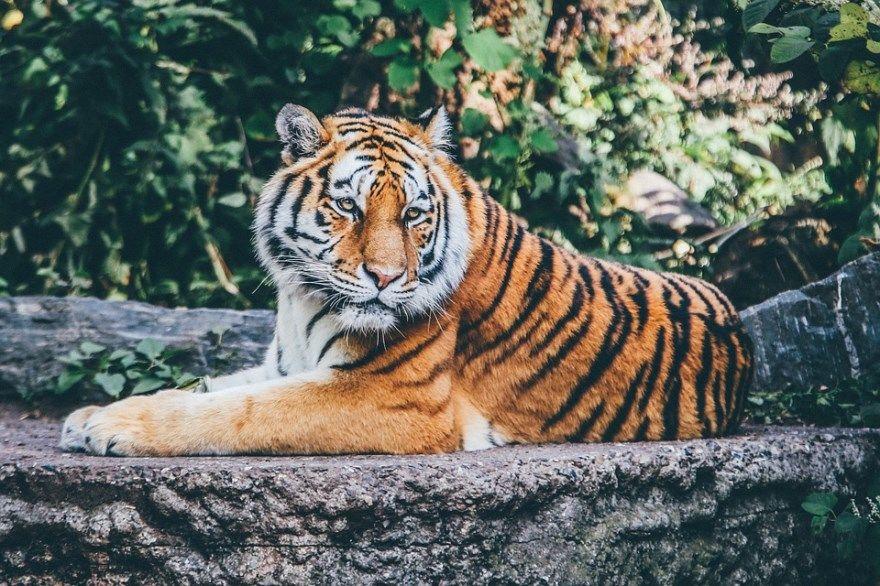 Тигр фото картинки онлайн бесплатно животное хищное