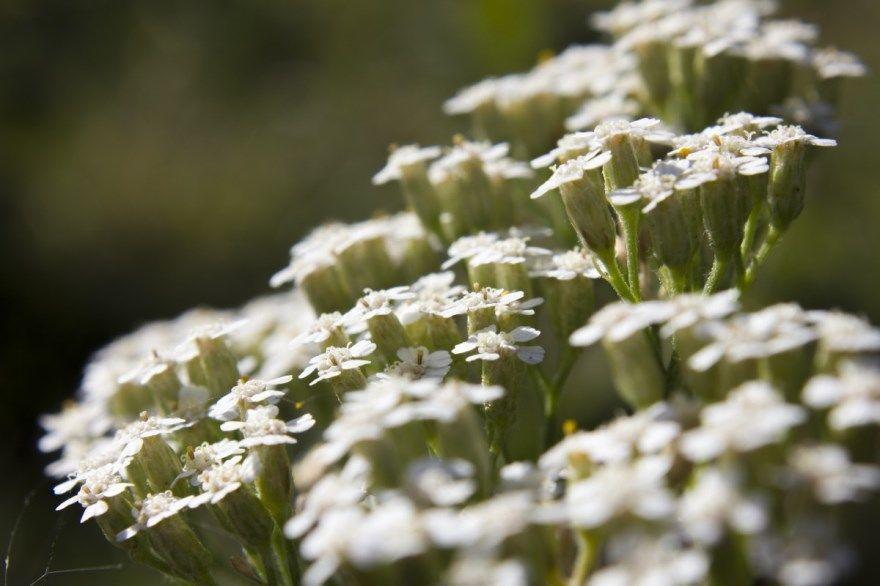 тысячелистник фото картинки лекарственный полезный свойства Крапива отвар цветок трава календула листья полынь настой лечебные садовый посадка семена пижама можно противопоказания