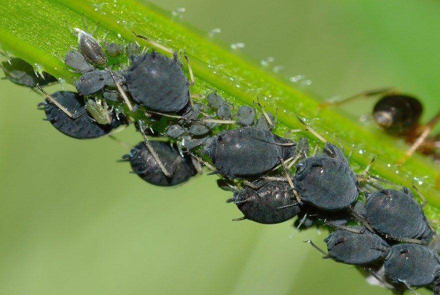 Тля фото картинки насекомое огуречная черная обычная на растении муравей онлайн смотреть лучшие