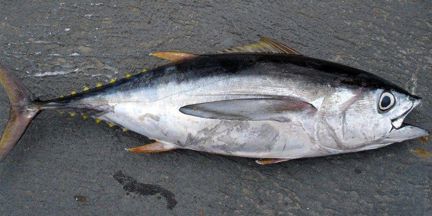 Тунец рыба картинки фото смотреть скачать рецепт приготовить вкусно бесплатно скачать