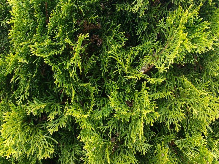 туя фото картинки магазин купить сосна елка смотреть онлайн в хорошем качесте бесплатно лучшие красивые