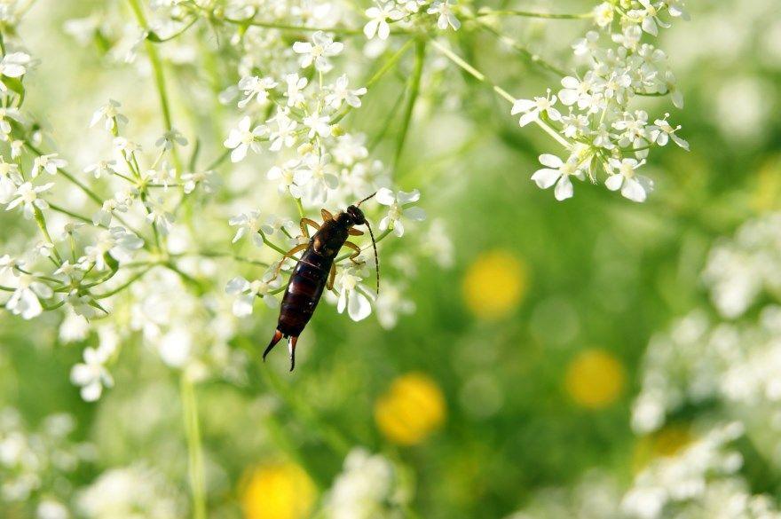 Уховертка насекомое фото картинки купить как выглядит опасное ли для человека смотреть скачать онлайн бесплатно