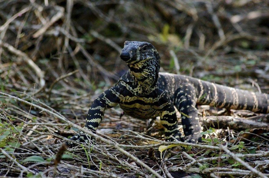 варан фото картинки животное ящерица комодский описание