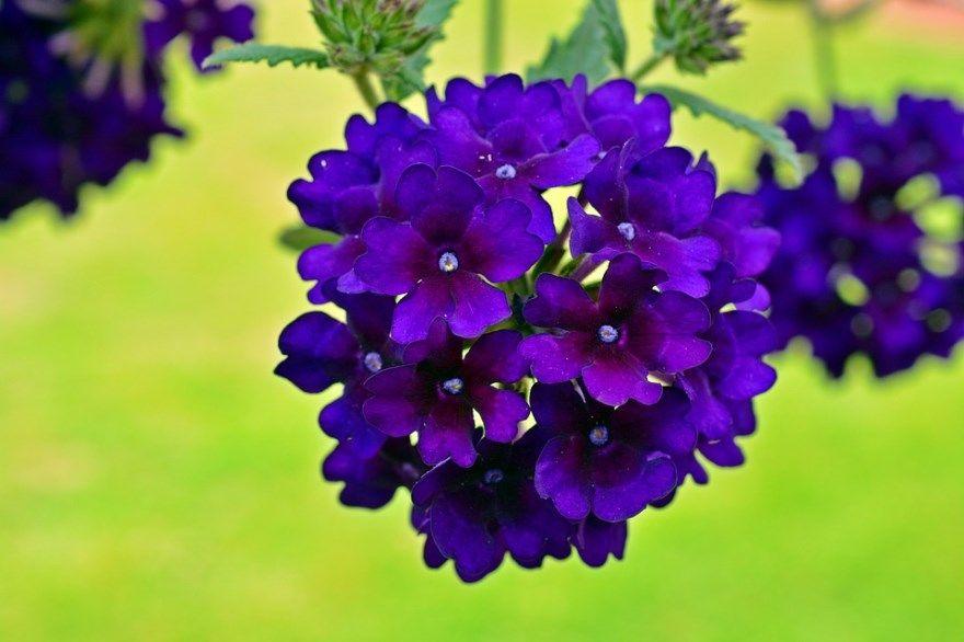 вербена фото картинки лечебные домашних условиях купить магазин сиреневых цветков смотреть бесплатно скачать
