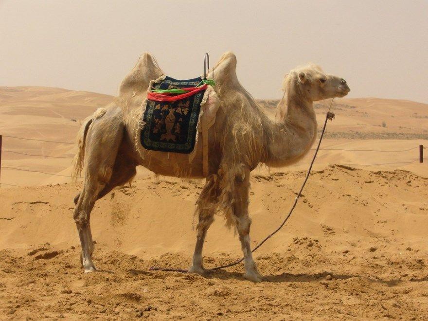 верблюд картинки фото бесплатно скачать почему видео горб
