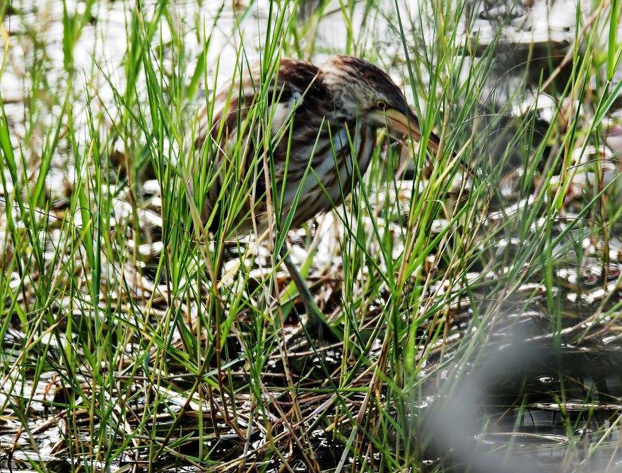 Выпь птица животное скачать лучшие бесплатно смотреть