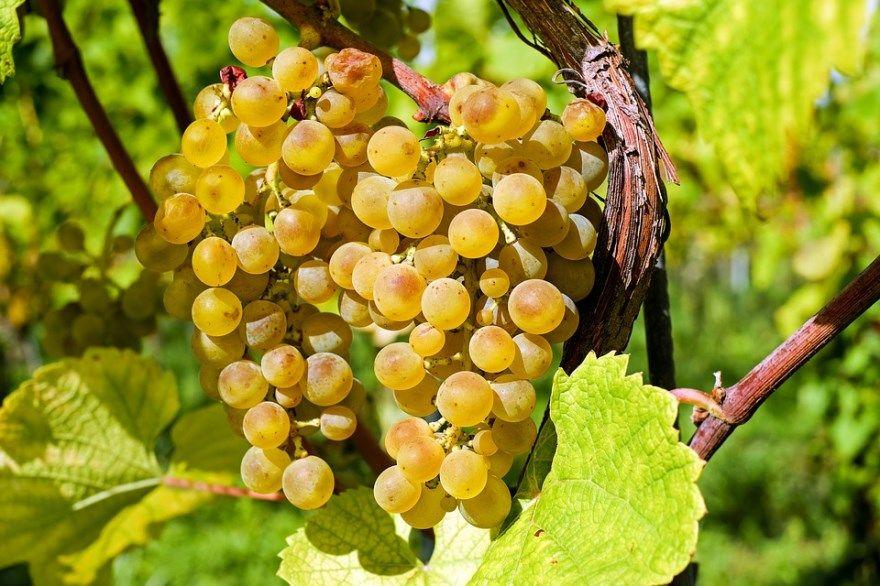 Виноград вино домашний условиях рецепты сорт осень на зиму простой изабелла описание обрезка кишмиш салат
