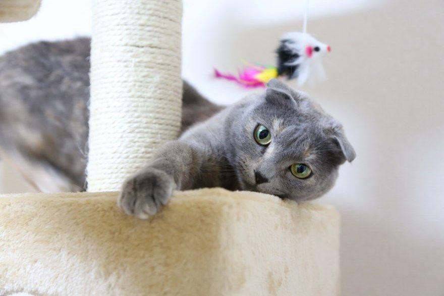 Вислоухие кошки коты порода британские шотландские лучшие скачать бесплатно