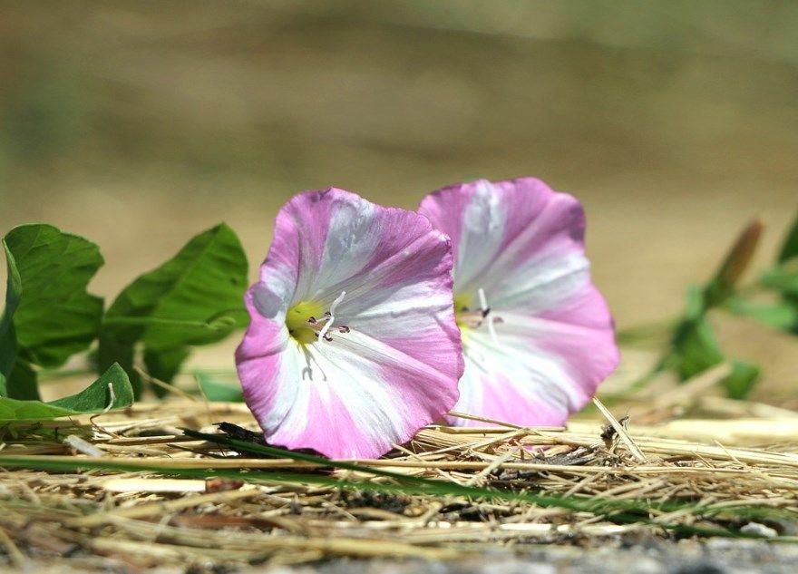Вьюнок фото полевой слово цветок рыбалка русская 4 разбор растение какой река садовые дмитрий пишется на огороде санаторий трехцветный