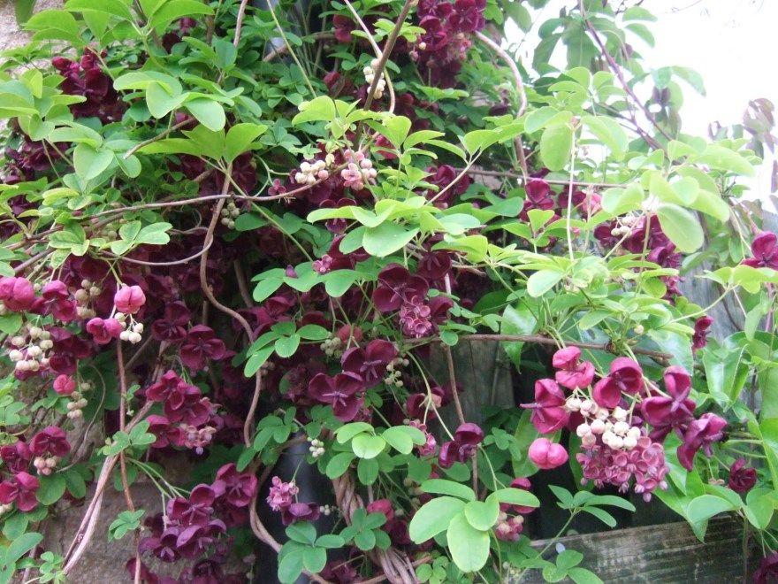 Вьющиеся растения фото картинки для забора купить дачи сада в природе разных видов бесплатно смотреть скачать