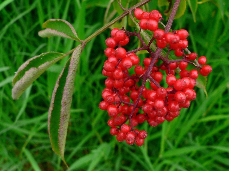 Волчьего лыка ягода фото описание какая описание растение почему цвет как выглядит цвет какого кустарник глаз название что будет если польза вред