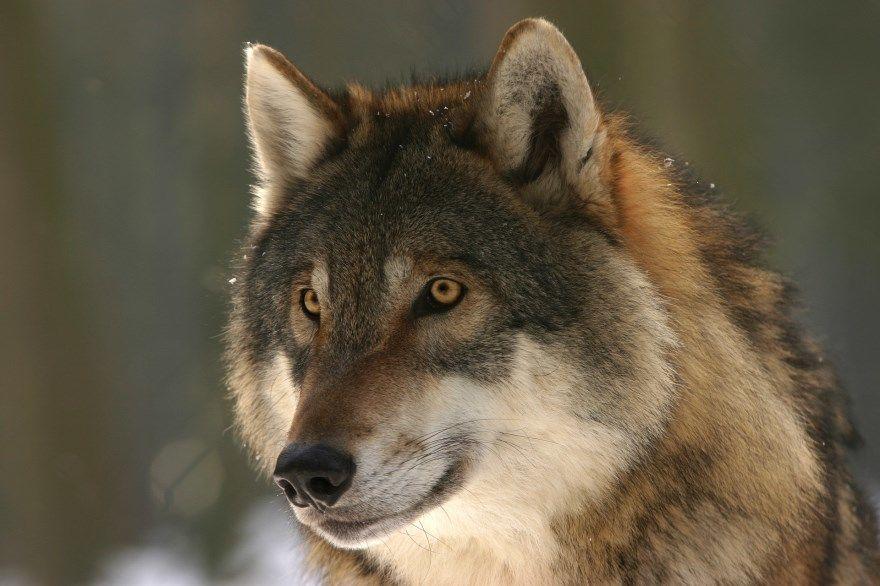 Волк фото картинки белый серый описание