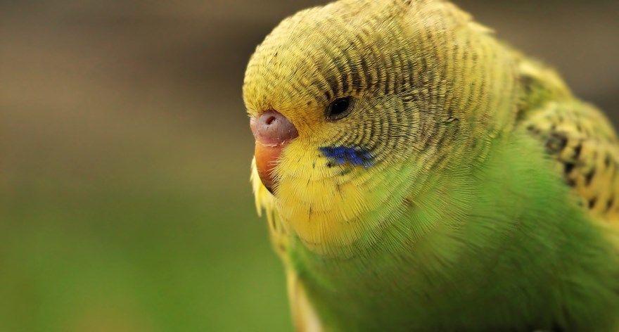 Волнистый попугайчик фото голубой зеленый смотреть говорящий домашний бесплатно